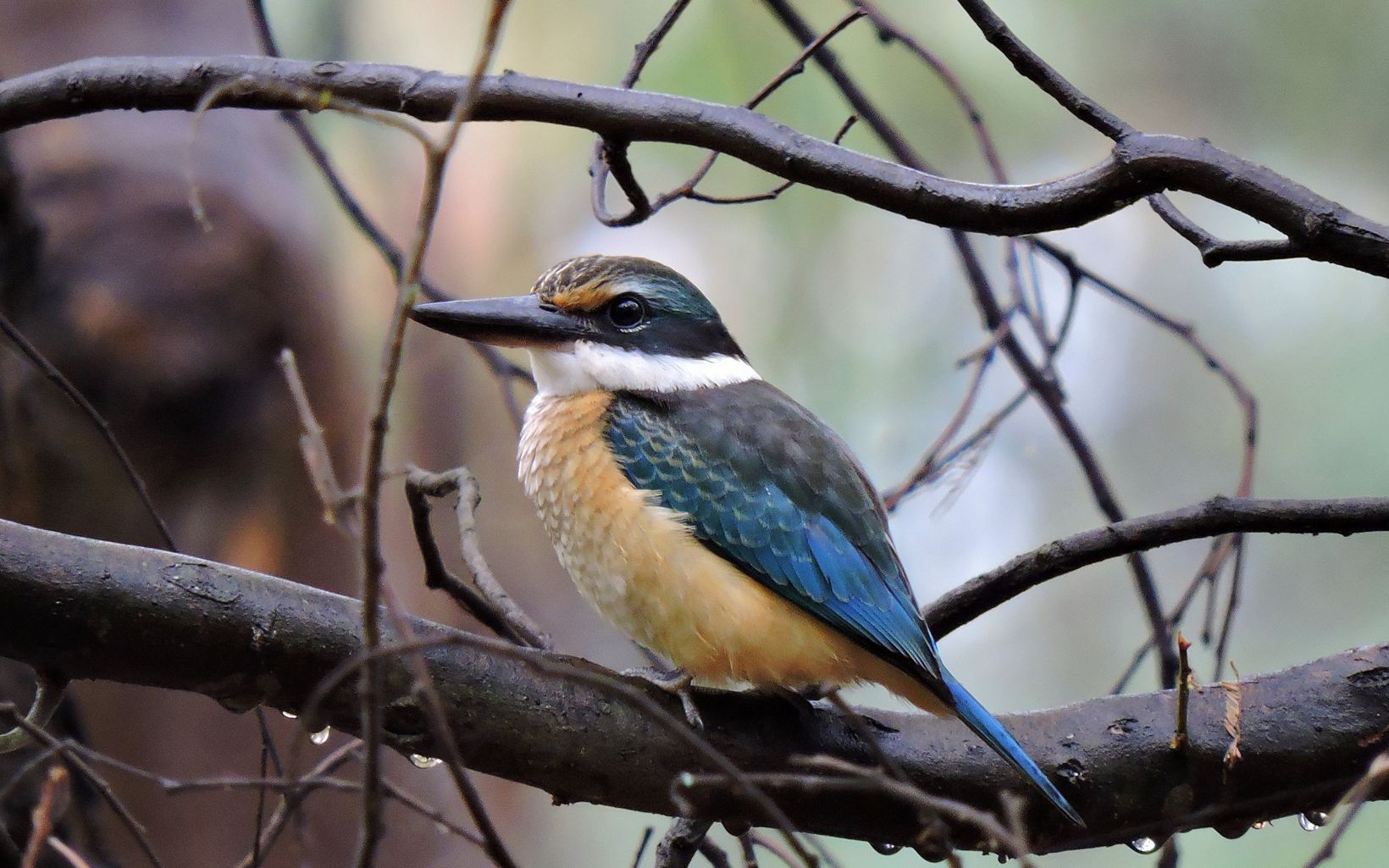 Australia is blessed with ten native species of kingfishers