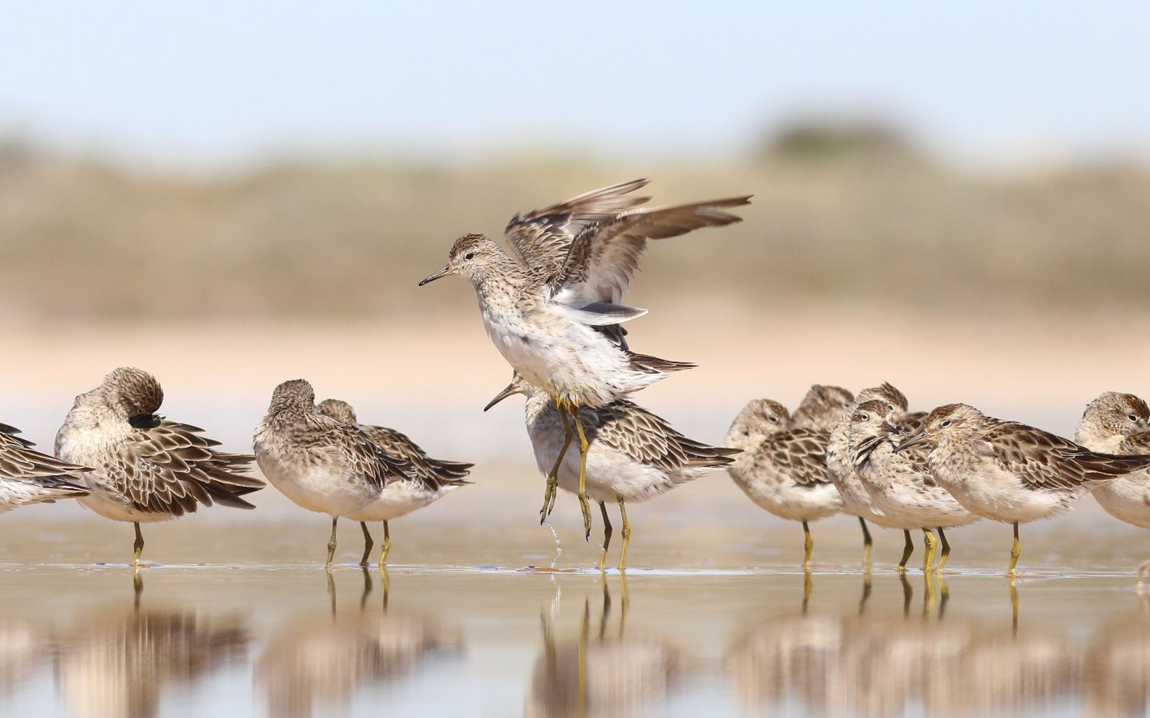 A migratory shorebird arriving in Australia in August, returning to Siberia in March, with greatest numbers in south-eastern Australia.