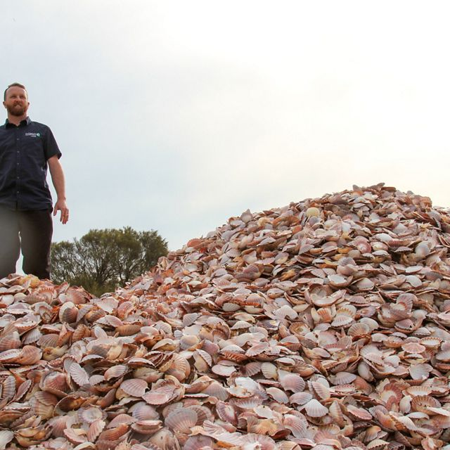 rides a wave of recycled seashells destined to become bedrock for new shellfish reefs