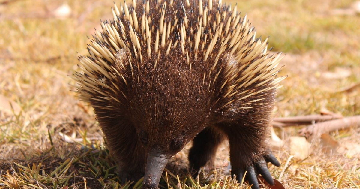 The Echidna has porcupine-like spines, a bird-like beak, quoll-like pouch and lays eggs like a reptile.