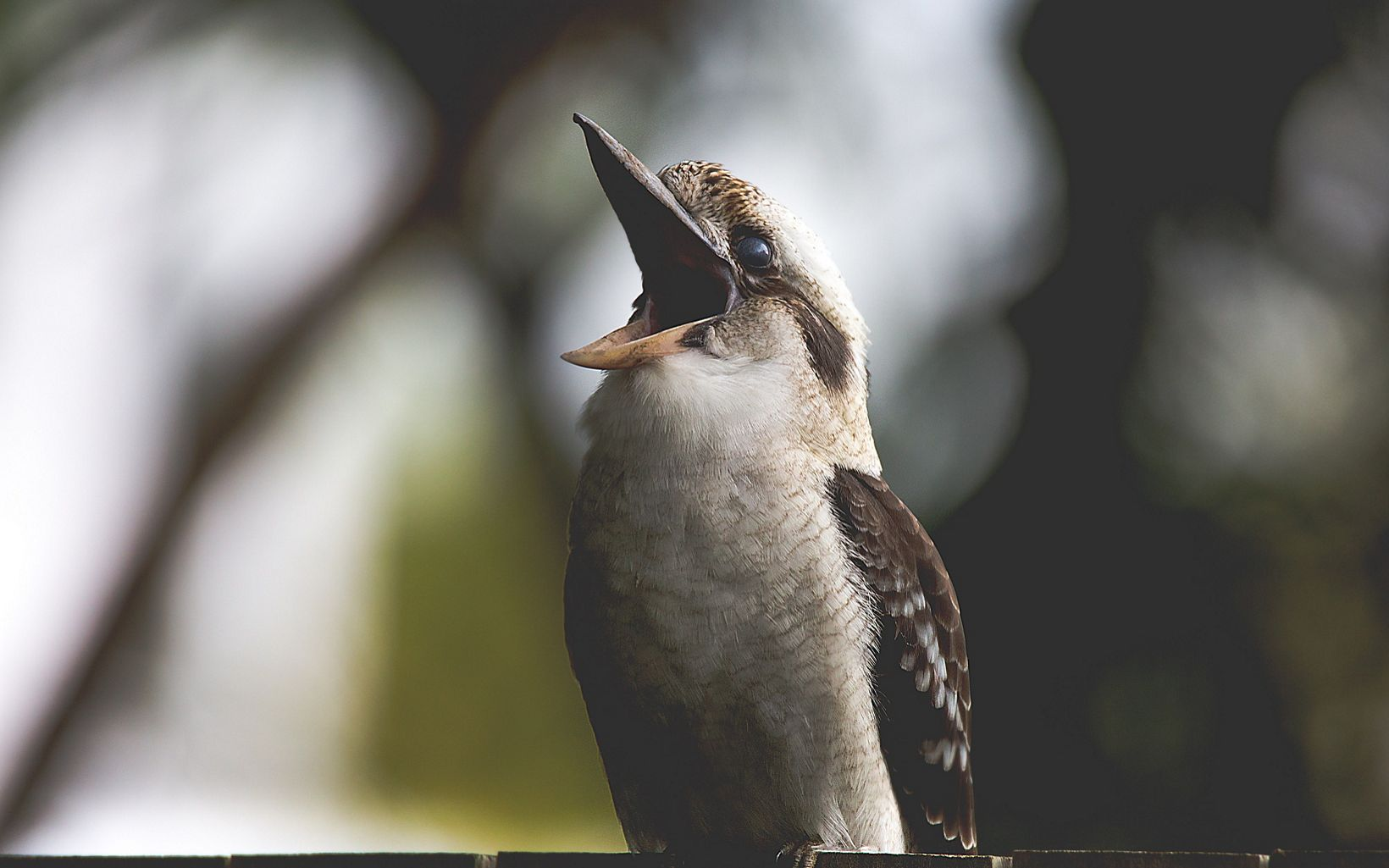 Kookaburras are the largest members of the kingfisher family