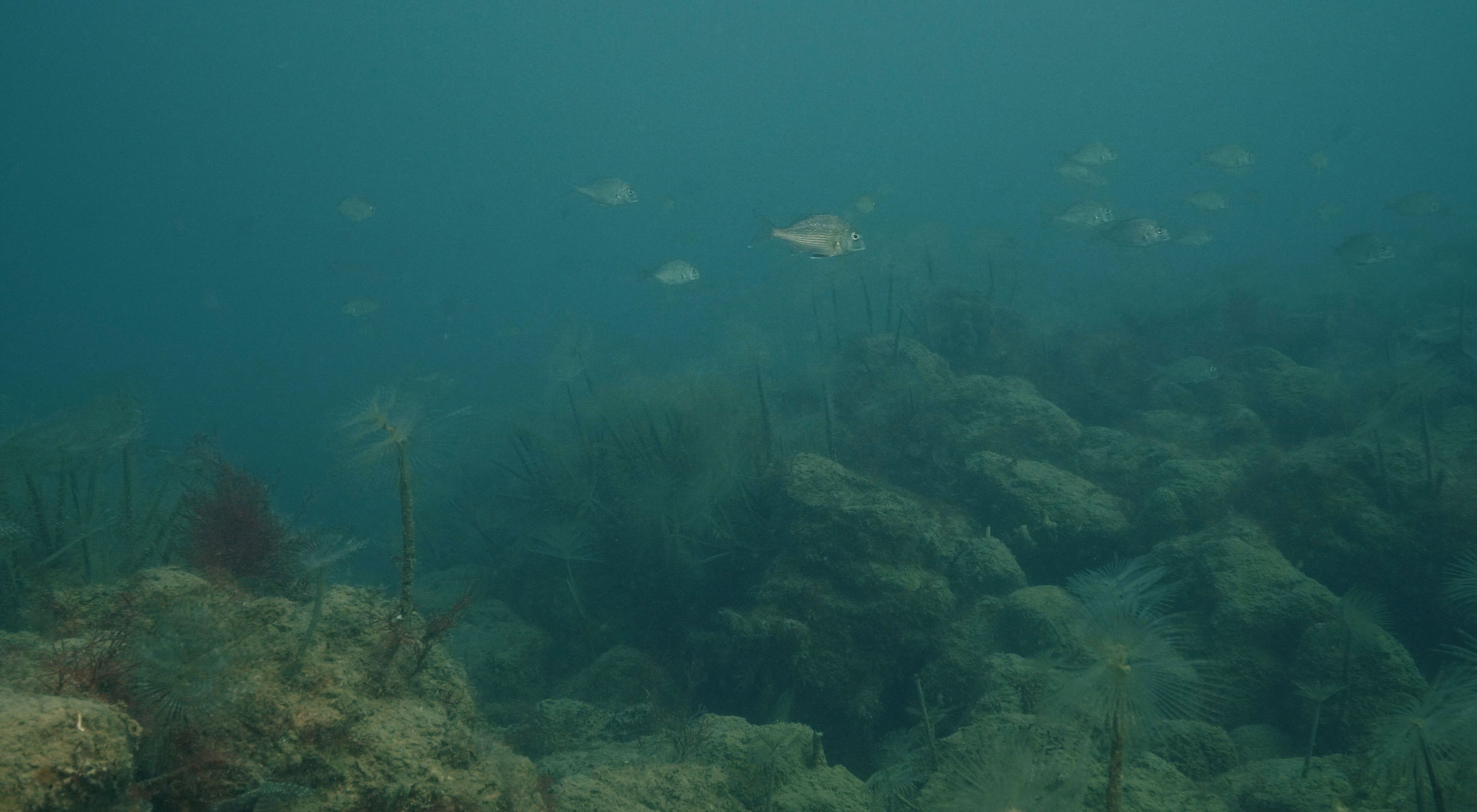 at our shellfish reef in Port Phillip Bay, Victoria