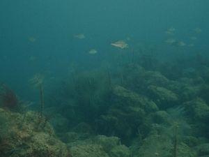 Schools of juvenile snapper at a shellfish reef