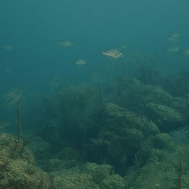 Schools of juvenile snapper at a shellfish reef