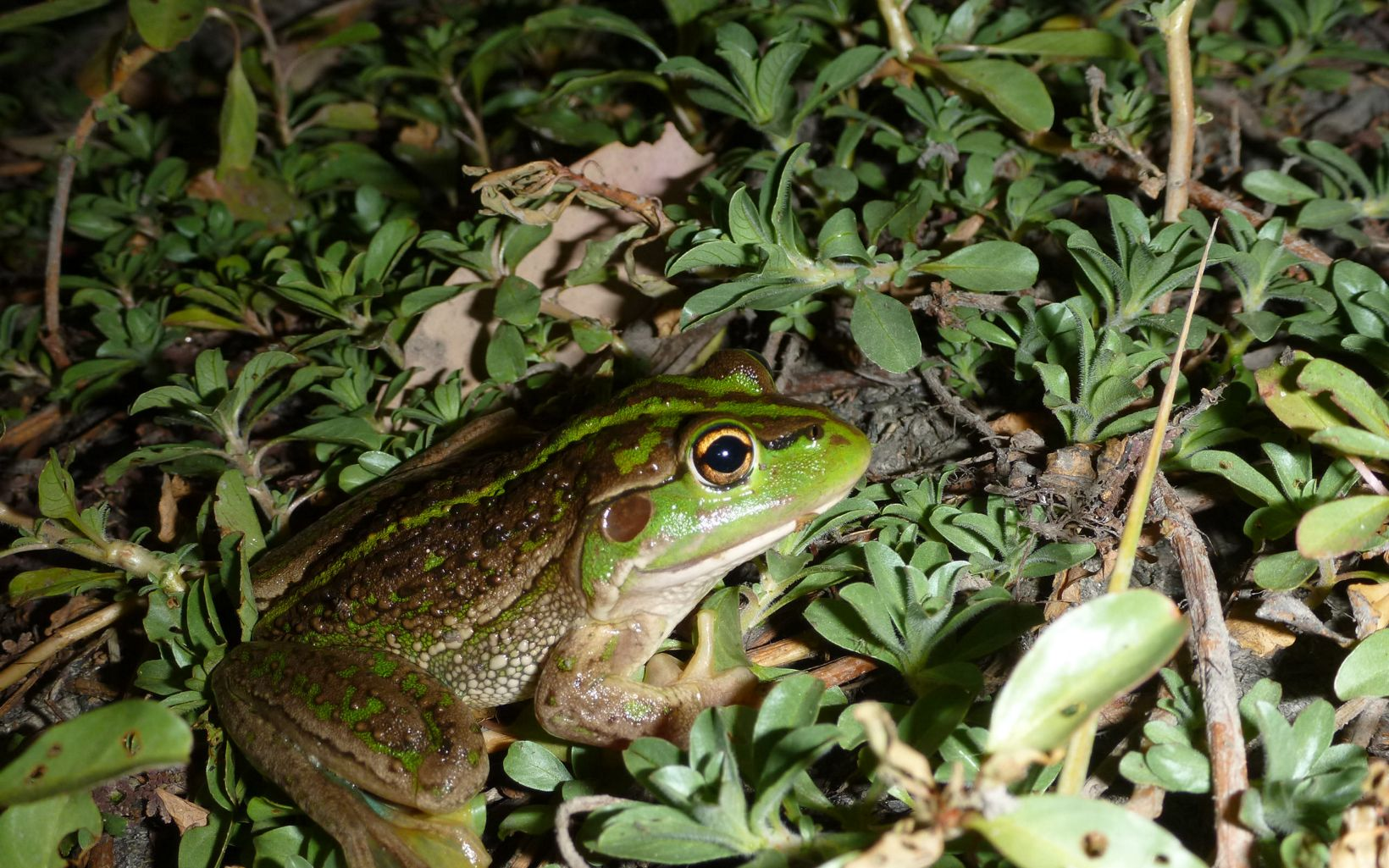 is one of the largest frog species in Australia.