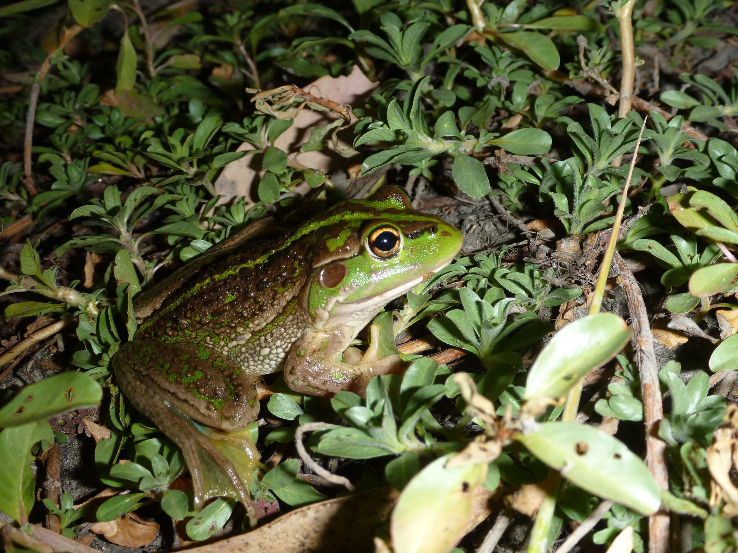 Southern Bell Frog