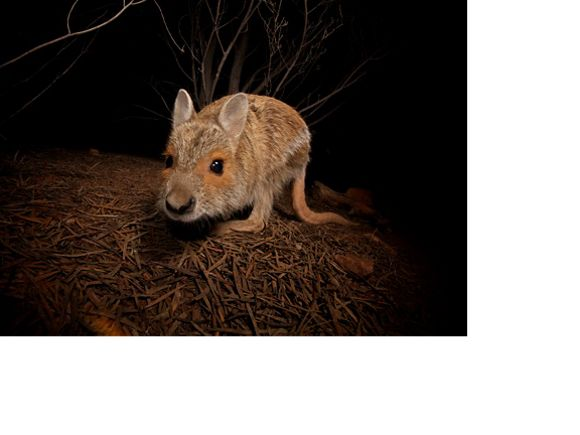 Spectacled-hare Wallaby