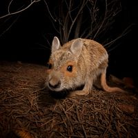 named from the distinctive orange fur that surrounds each eye, the Spectacled Hare-Wallaby is considered very rare in the Kimberley region.
