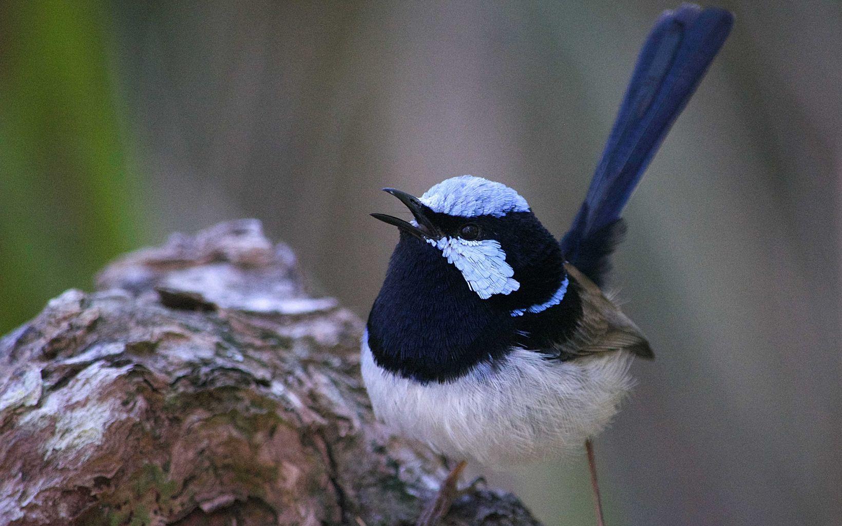 Superb Fairy-Wren, black-and-white bird native to Melbourne