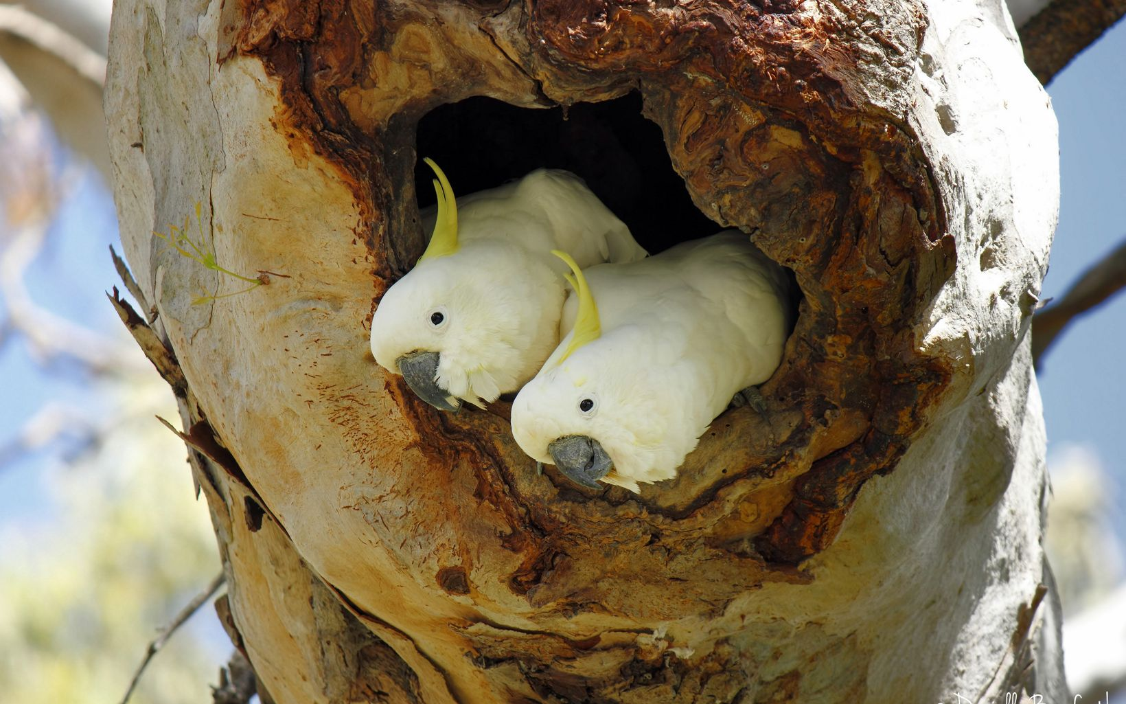 Sulphur-crested Cockatoos, two white birds with small yellow crest, in tree hollow
