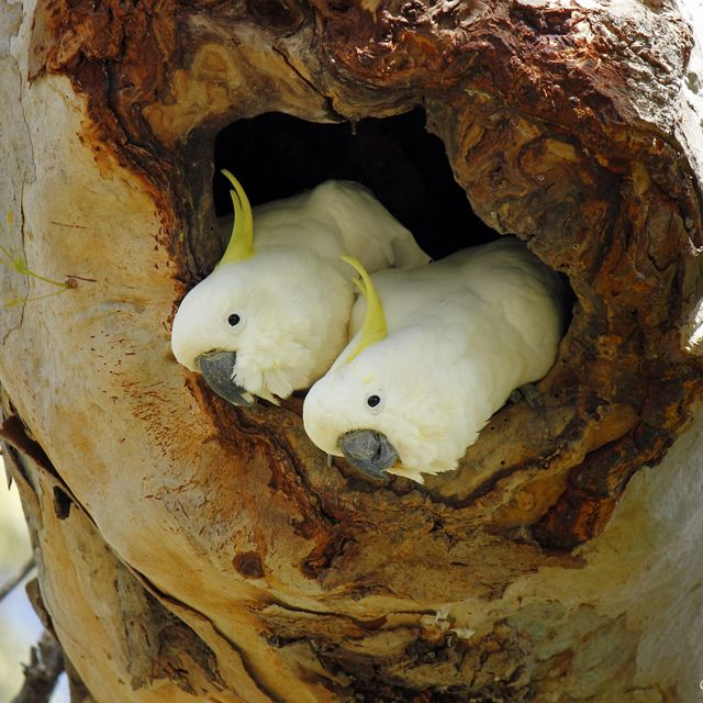 two cockatoos nesting in a tree