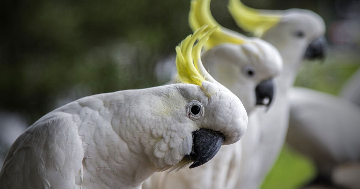 Australia is home to 14 species of cockatoos