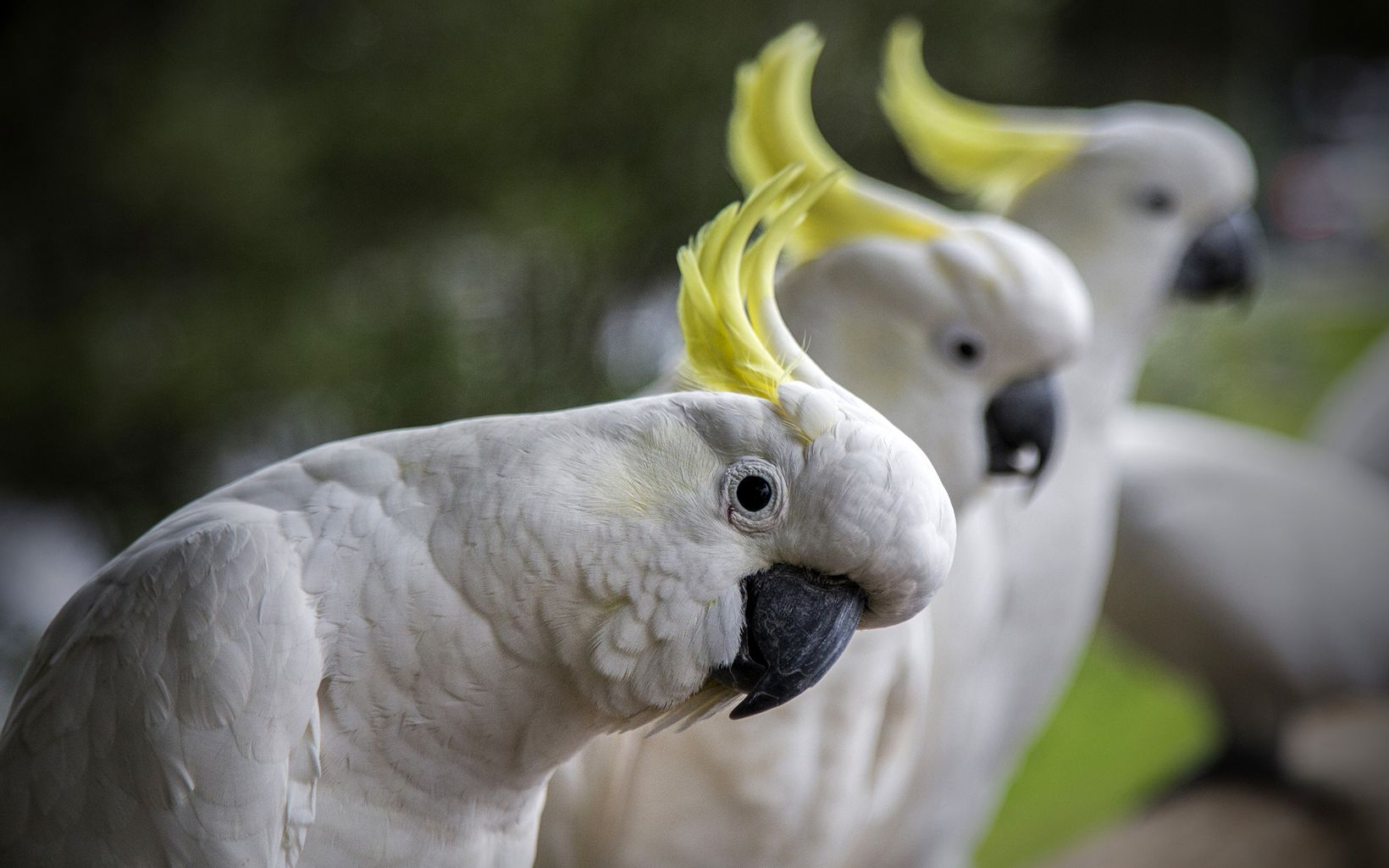 Cockatoos of Australia