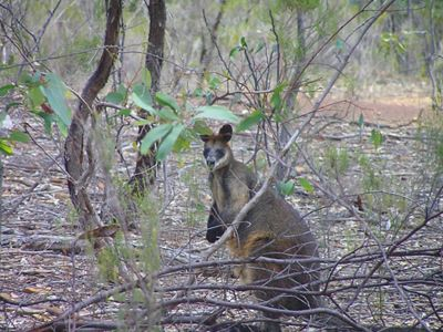 a wallaby in the woods