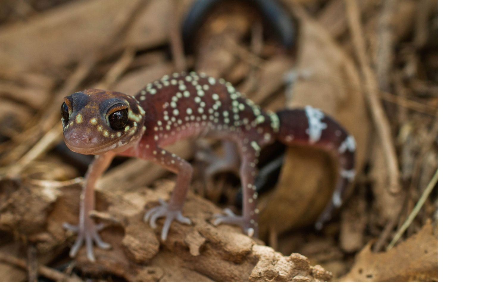 aka Barking Gecko can be found across southern Australia from south west of Western Australia through to south east Queensland, but not found in southern Victoria or Tasmania.