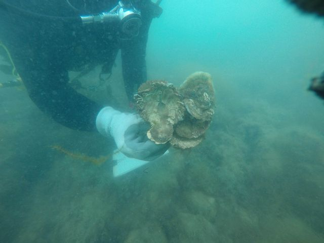 Oysters Underwater