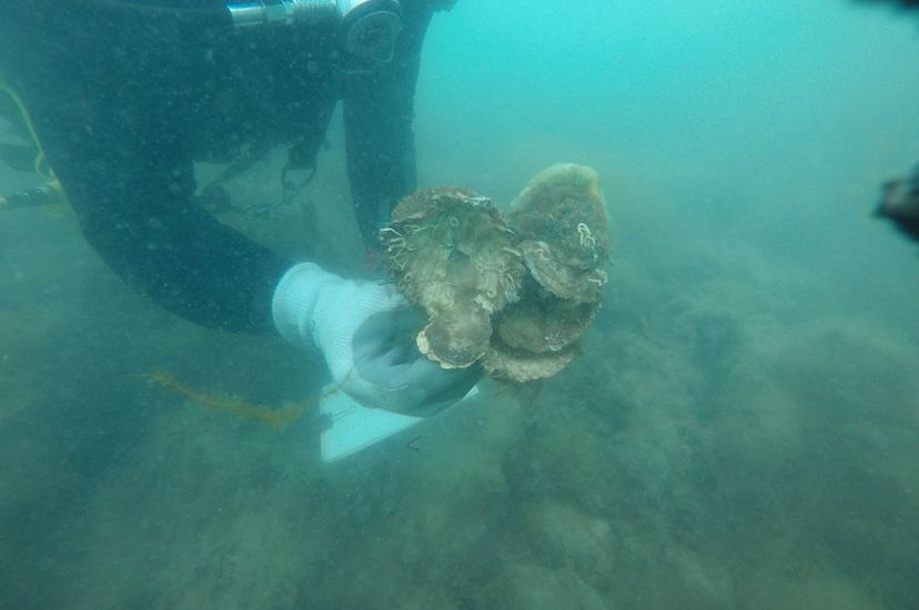 A diver holding a clump of oysters underwater.