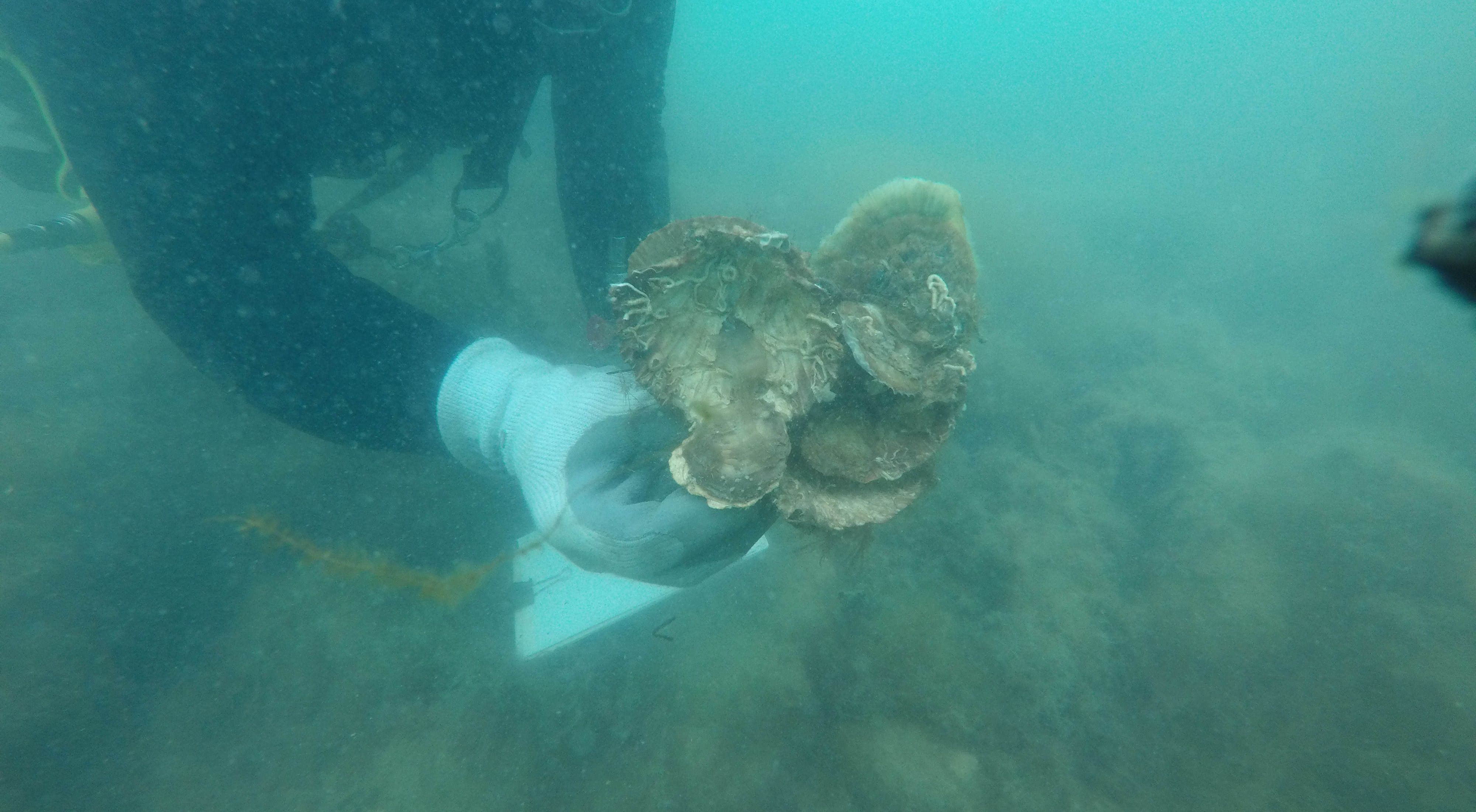 growing on one of TNC's restored shellfish reefs in Port Phillip Bay, Victoria