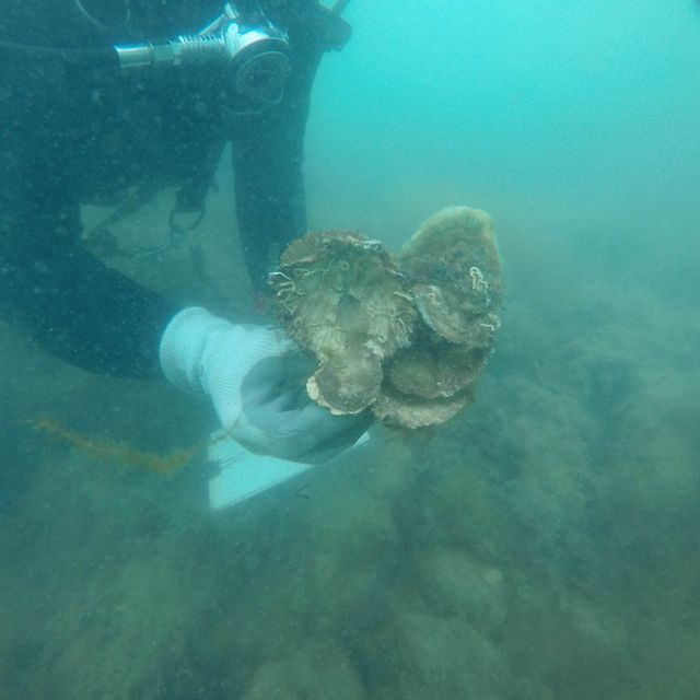 Australian Flat Oyster