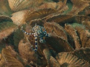 Blue-ringed Octopus living amongst recycled shells