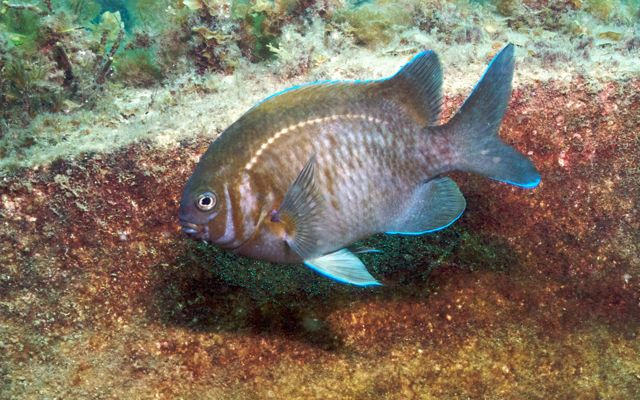 a territorial damselfish only found in southern Australia