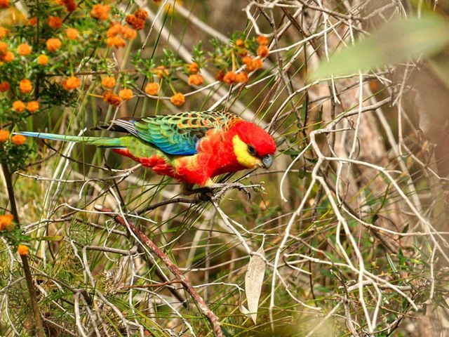 the only rosella found in south-west Western Australia