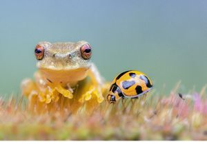 Whirring Tree Frog and ladybug