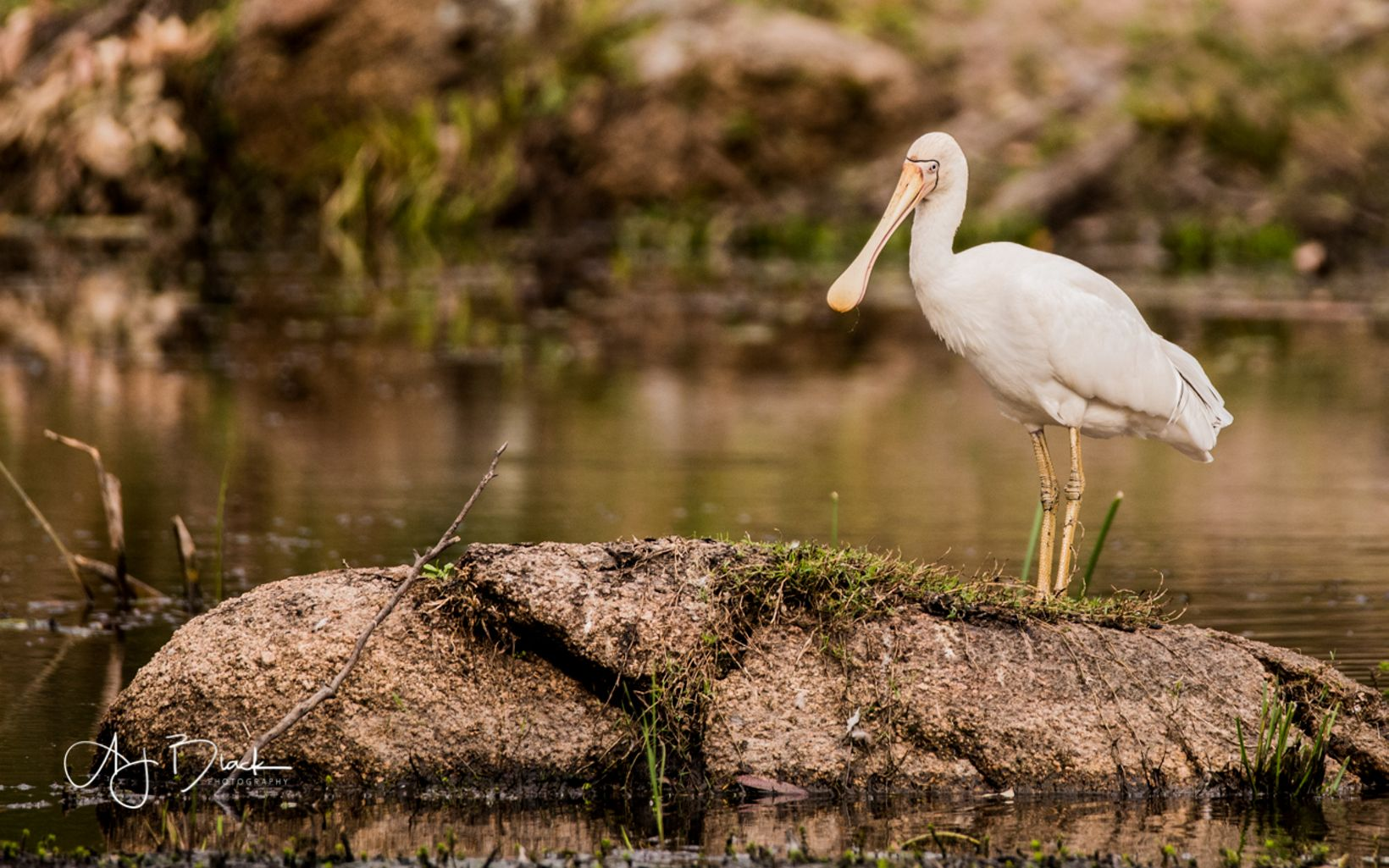 common in southeast Australia. The bill of the yellow-billed spoonbill works like forceps to catch prey