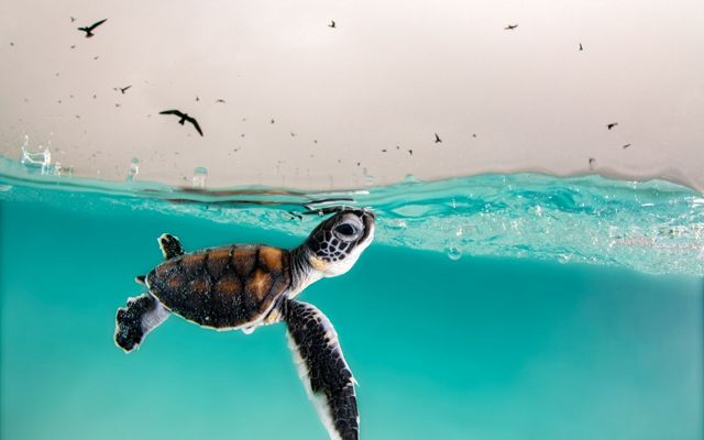 Hatchling swimming to the surface of the water.