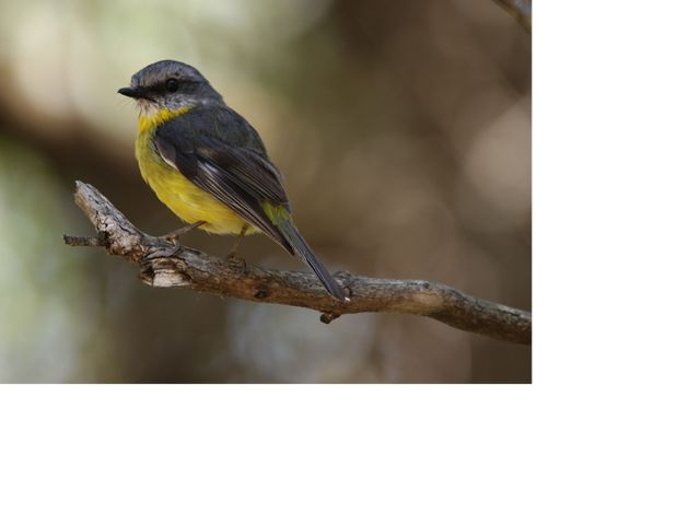 a yellow and black bird on a branch