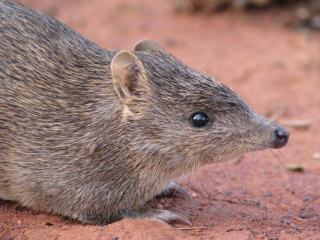 (Isoodon auratus) is a short-nosed bandicoot found in northern Australia.