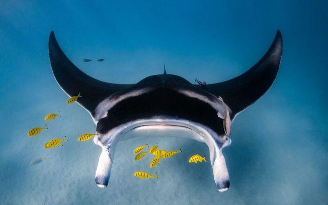 A manta ray gliding on the ocean floor