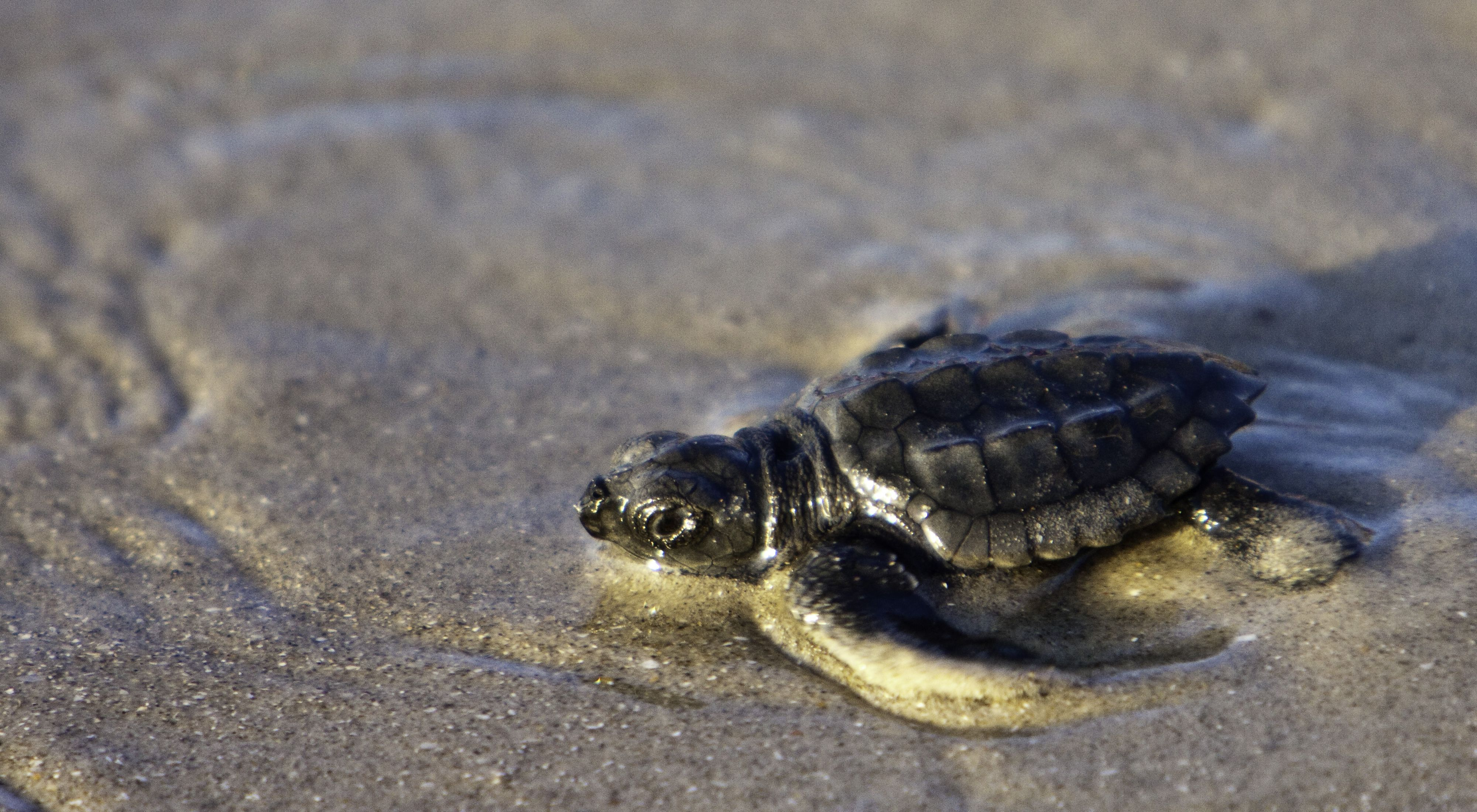 A tiny sea turtle sits in wet sand.