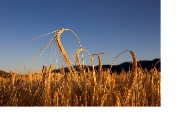Barley growing at TNC's Shield Ranch in Arizona.