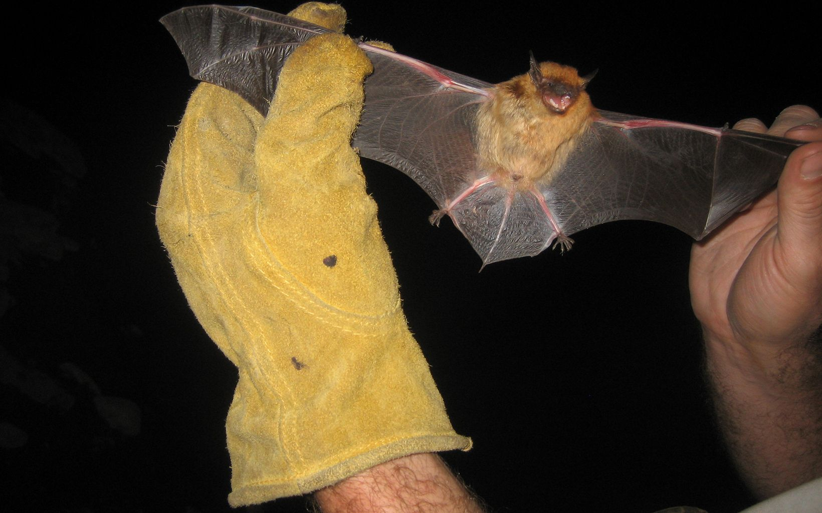 Bat held by its wings by a yellow gloved hand.