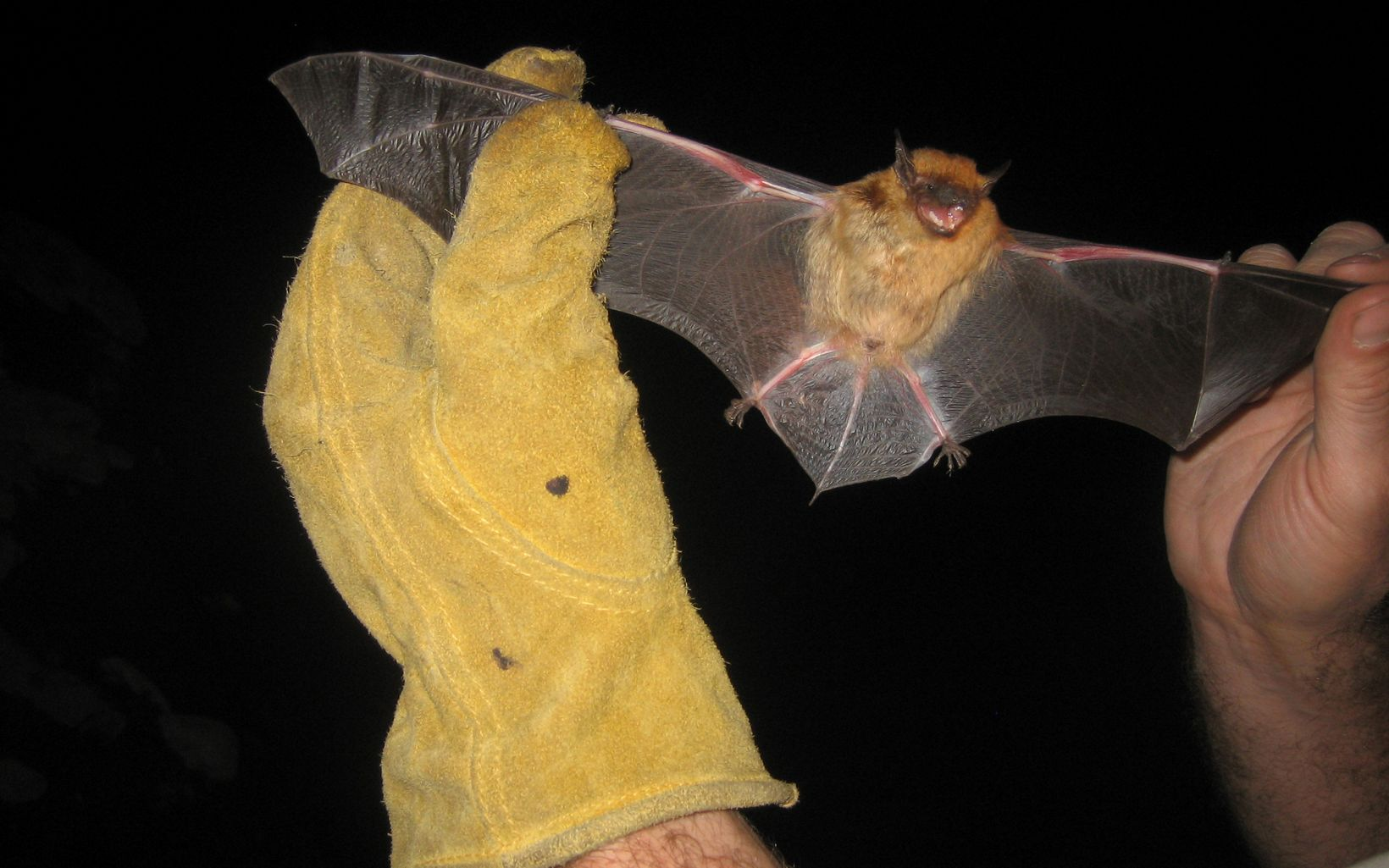 Bat surveyed along Gila River