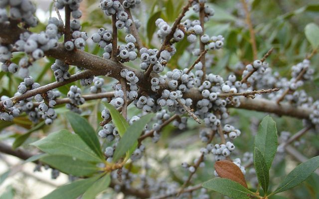 (Myrica pensylvanica) A deciduous shrub, this is a great winter food source for birds.
