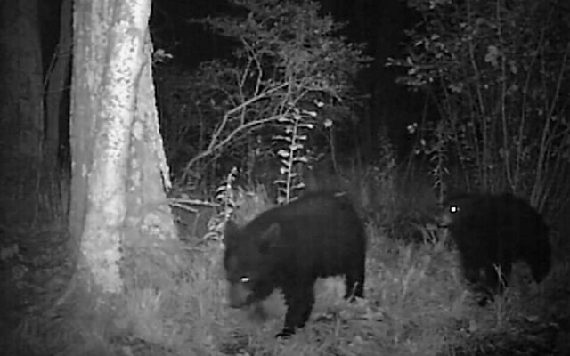 Black and white trail cam photo of two hears at night.