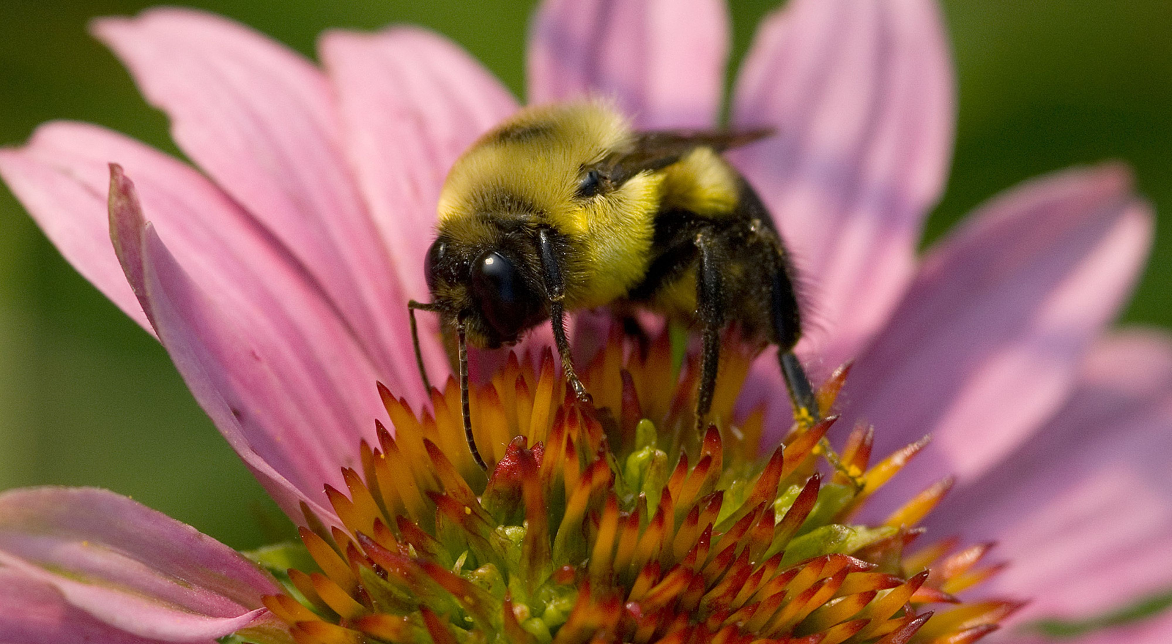 A bumblebee rests on a pink flower.