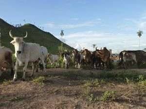 Cattle ranching in São Félix do Xingu, in the Brazilian