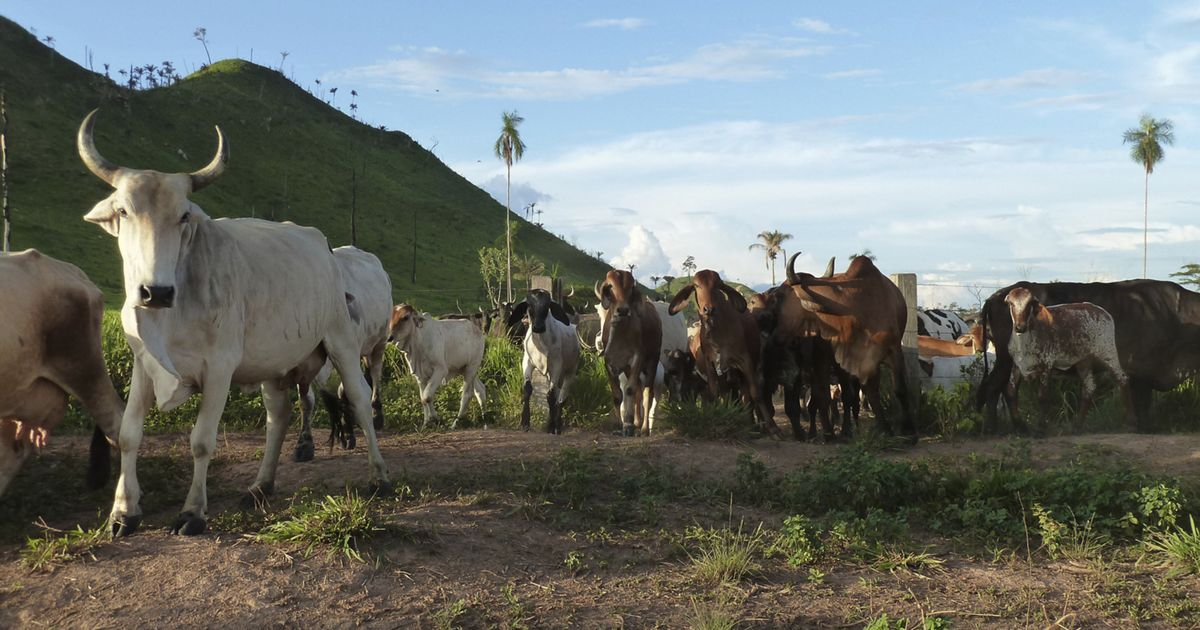 Cattle ranching in São Félix do Xingu, in the Brazilian Amazon.