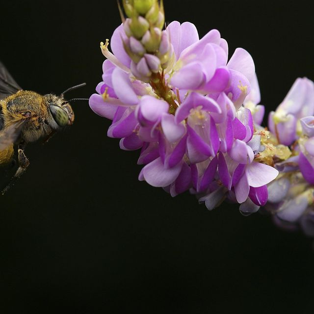 A bee visits a pink flower against a black background