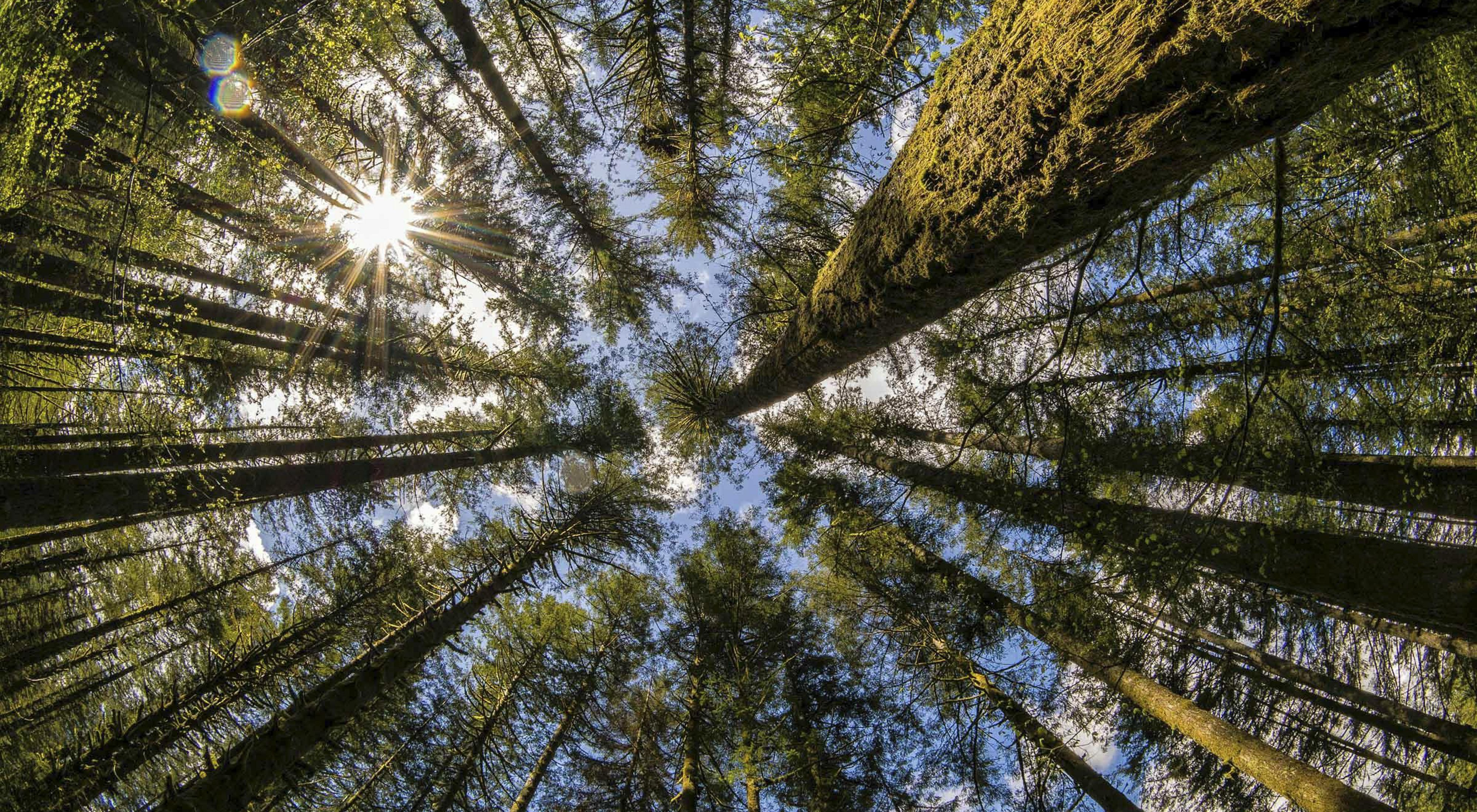 Photo looking upwards at giant trees in a Washington state forest.