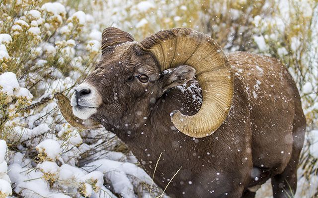 A bighorn sheep with large curved horns facing the camera with snow falling around it.