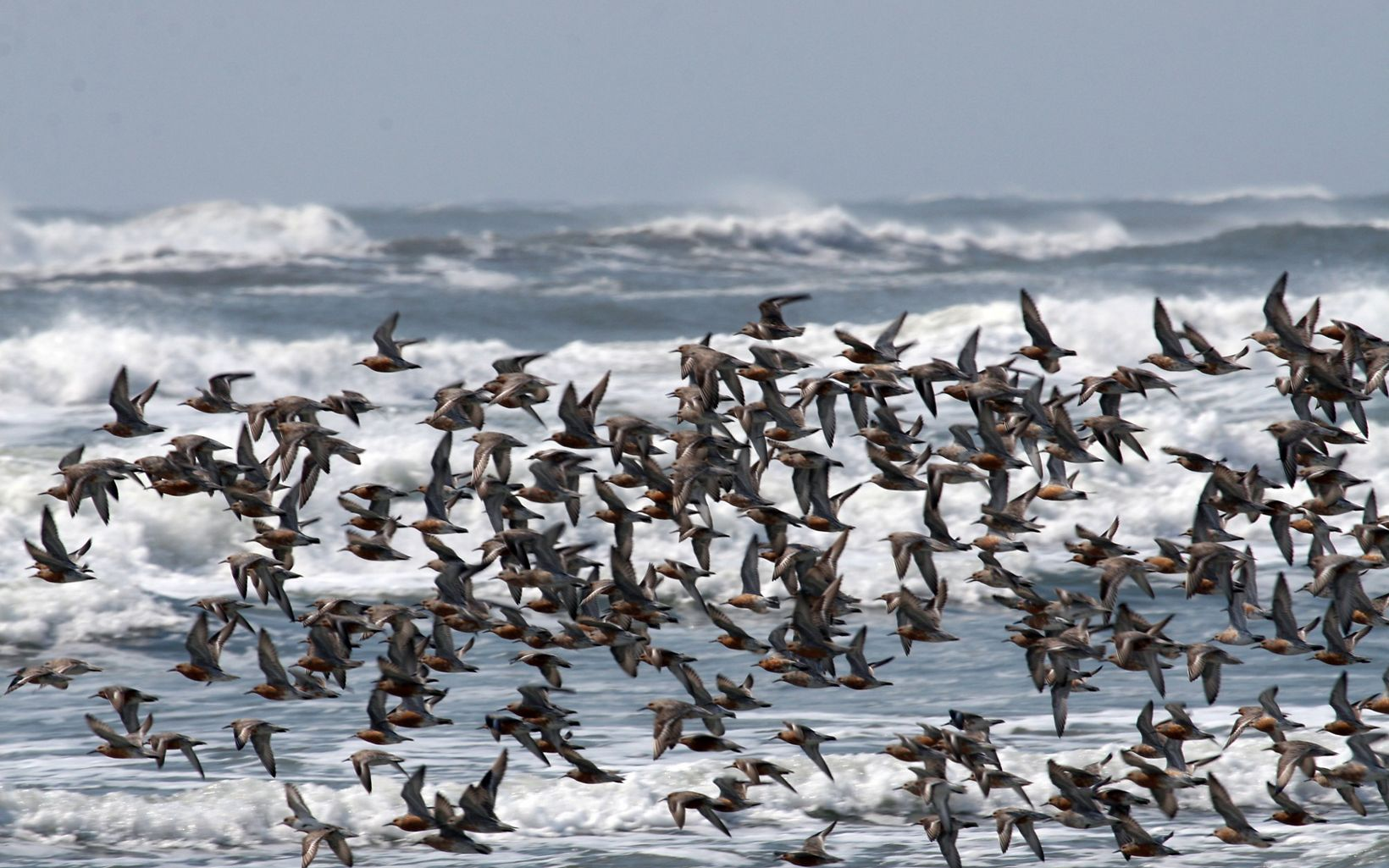 A group of birds flying over the Eastern Shore.