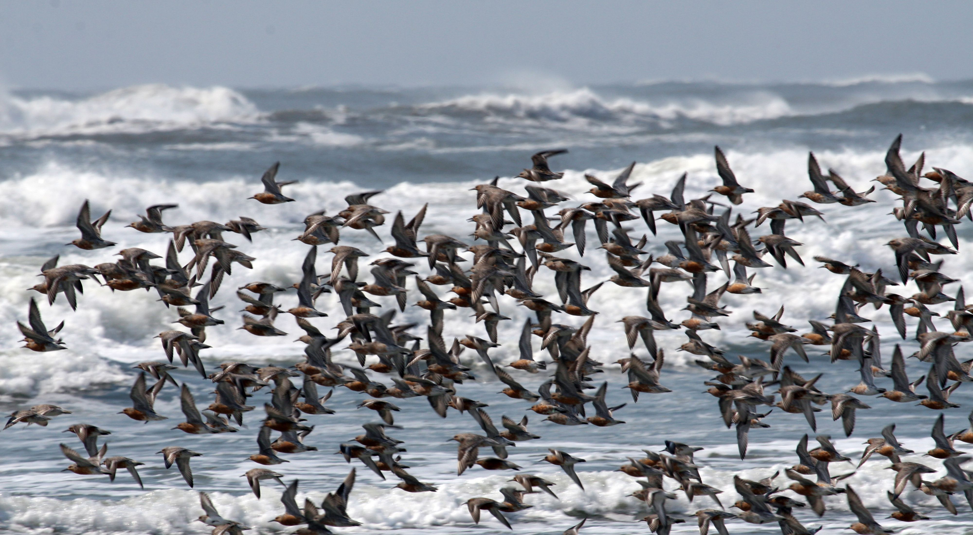 A flock of red knots in flight. Dozens of small brown shore birds flock together flying above a beach on one of Virginia's barrier islands. The Atlantic surf crashes in rolling white caps behind them.