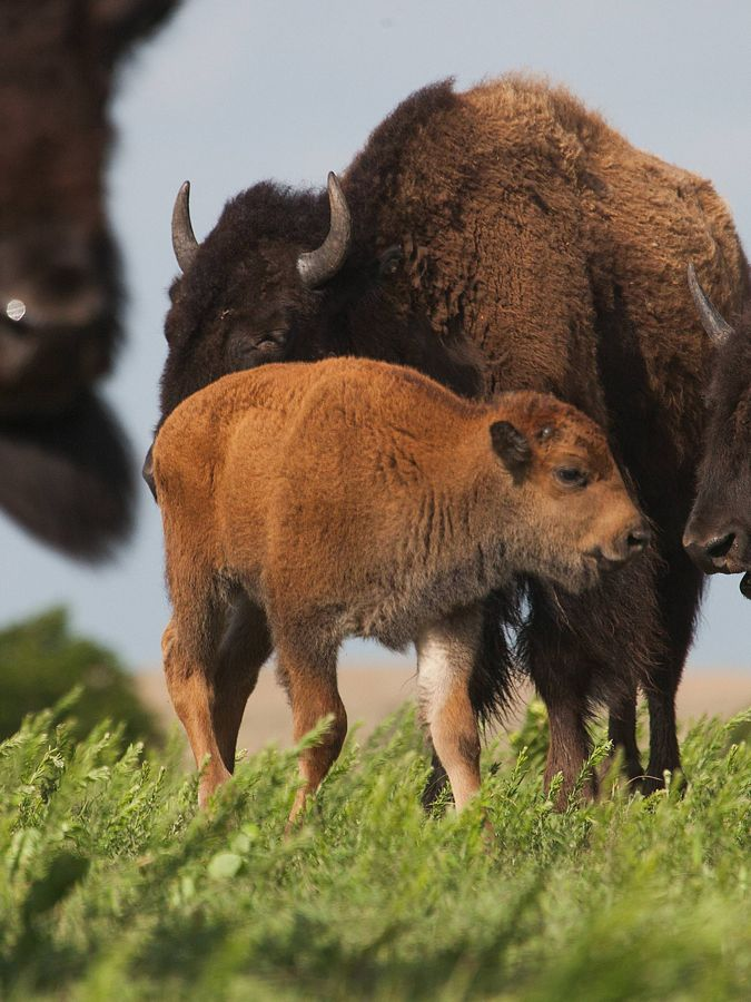 Close-up of a bison calf with mom.