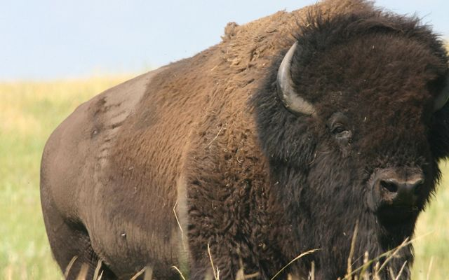 Bison bull on the prairie.