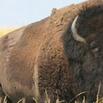 Close-up of a male bison at the Samuel H. Ordway, Jr. Memorial Preserve in South Dakota.