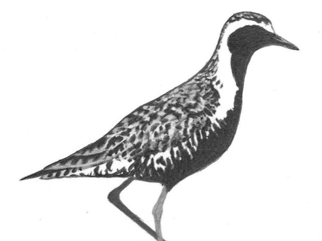 Charcoal drawing of a black-bellied plover